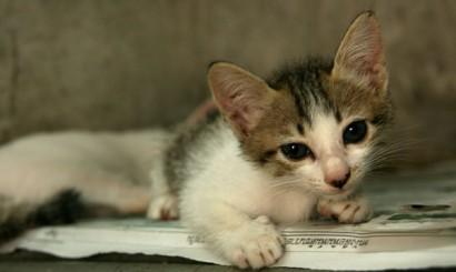 Kocięta, które podrosły na tyle, by właścicielowi nie było żal podrzucić ich do schroniska.