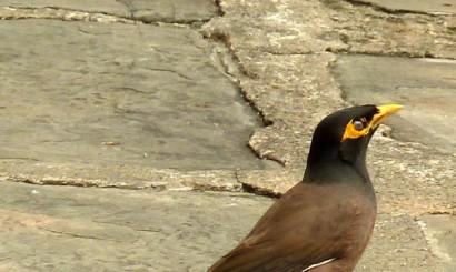 Majna brunatna – tropikalny odpowiednik naszego szpaka  i jeden z najpopularniejszych miejskich ptaków.