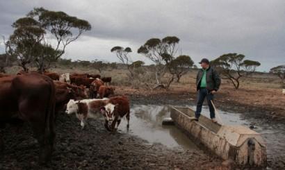 Opieka nad stadami krów w głównej mierze sprowadza się do zapewnienia im stałego dostępu do wody, czyli regularnej kontroli i czyszczenia poideł.