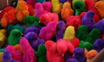 """W Tajlandii można kupić farbowane jajka o różowych skorupkach oraz kolorowe kurczaki. Upiorny proceder nie jest sprzężony z obchodami Wielkiej Nocy. Malowane pisklaki zwykle trafiają do klatek typowych dla ptaków ozdobnych, gdzie czekają, aż zgubią puch i zmienią upierzenie – wtedy, już jako """"normalne"""" kury, trafiają na podwórko, a potem do garnka."""