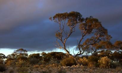 Czerwone drzewo mallee, jeden z nielicznych rodzajów eukaliptusa, radzących sobie w tak trudnych warunkach.