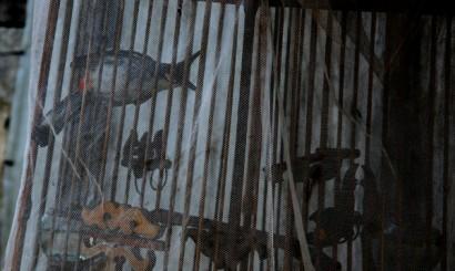 Przynoszący szczęście, unieszczęśliwiony bilbil zbroczony, najpopularniejszy ptak ozdobny w Tajlandii. Pochodzący głównie z odłowów ze środowiska naturalnego.