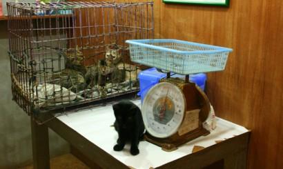 Koci katar hurtem – w tej klatce przyniesiono 5 kotów w przedziale wiekowym od kilku miesięcy do kilku lat, obok stylowa waga jednego z gabinetów przyjęć.