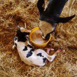 Krowy po porodzie potrzebują żywieniowego wsparcia