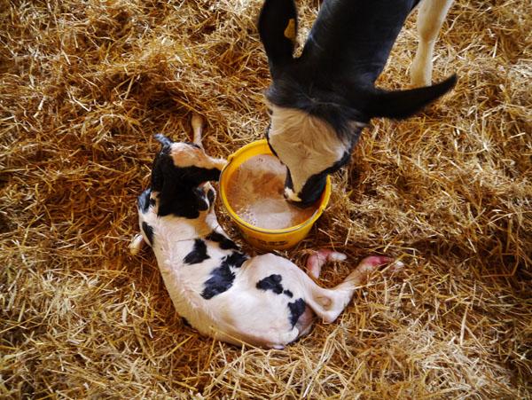 Wsparcie żywieniowe w postaci specjalnych produktów podawanych krowie zaraz po porodzie jest szczególnie ważne dla jej zdrowia na początku laktacji.