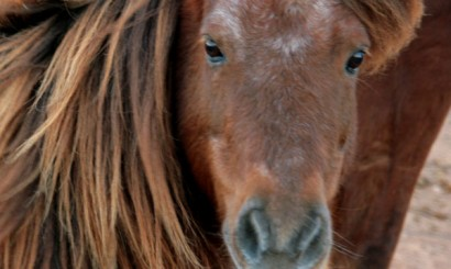 Kucyk szetlandzki radził sobie zaskakująco dobrze w skomplikowanej hierarchii tutejszego tabunu koni. Być może zawdzięczał to doświadczeniu – miał ponad 25 lat.
