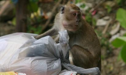 Tajskie kurorty, bez względu na pretendowanie do bycia rajem na ziemi, nie grzeszą czystością. Kosze na śmieci nie są powszechnie stosowanym wynalazkiem, a nawet jeśli ktoś w nie zainwestuje, szybko zamieniają się w karmniki dla małp, które z kolei roznoszą śmieci po okolicy.