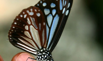 Tajskie lasy pełne są przepięknych motyli.