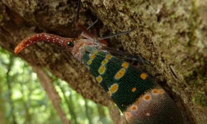 Cudaczny mieszkaniec dżungli Parku Narodowego Khao Sok.