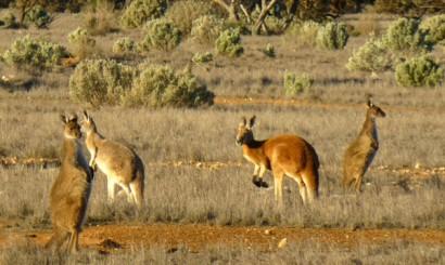 Pastwiska dzielą między siebie krowy i kangury.
