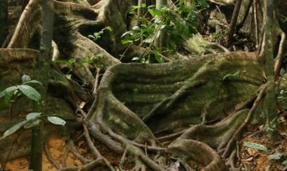Potężne korzenie drzewa z rodziny Dipterocarpacea.