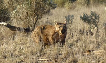Wombat szerokogłowy – kolejny mieszkaniec buszu. Stara się prowadzić spokojny i oszczędzający energię tryb życia, oparty na jedzeniu, kopaniu nor i wygrzewaniu się w słońcu.