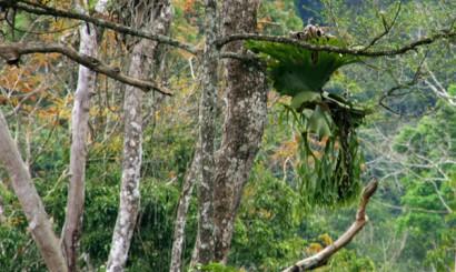 Ogromne epifity rosnące na konarach drzew w Parku Narodowym Khao Sok.