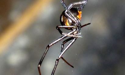 Red Back – najgroźniejszy australijski pająk, należący do rodziny czarnych wdów