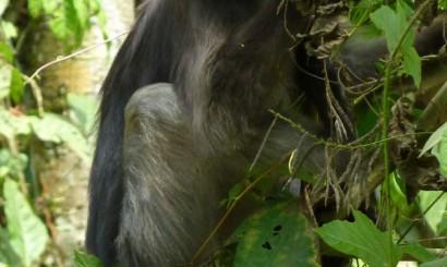 Langur czarny – jeden z najbardziej uroczych mieszkańców dżungli.