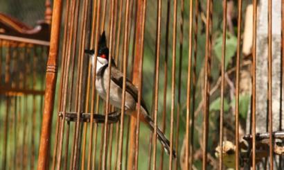 W tajskiej tradycji ptaki trzymane w klatkach przynoszą szczęście. Szczególnie popularny jest faktycznie uroczy i uroczo ćwierkający bilbil zbroczony (polskie nazwy egzotycznych ptaków naprawdę pozostawiają dużo do życzenia i zwykle mijają się z najczęściej sympatycznym przedstawicielem gatunku), na tyle popularny, że obecnie zobaczyć go można niemal wyłącznie w ciasnych klatkach, w naturze praktycznie nie występuje.