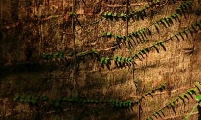 W dżungli nieustannie trwa wyścig po światło. Mniejsze rośliny pną się po pniach niebotycznych olbrzymów.