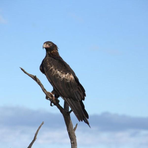 Orzeł australijski to jeden z najliczniej występujących tu ptaków. Sprzyja temu ogromna obfitość pożywienia – tutejsze orły przekwalifikowały się z łowców na padlinożerców.