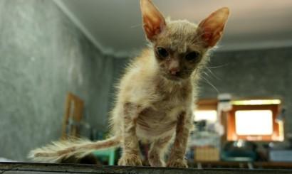 Smeagol, najbrzydszy kociak na świecie.