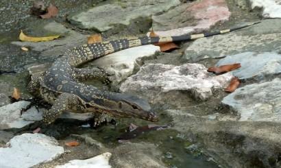 Waran, jeden z licznych mieszkańców kanałów Bangkoku. Drapieżnikami szczytowymi tego zaskakująco bogatego ekosystemu pozostają ludzie – łowiący w ściekach ryby (a może również żółwie), brodząc po pas w gęstej wodzie.