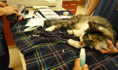 Transfuzja krwi oraz tlenoterapia u kota.