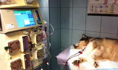 Fot. 7. Pacjent podczas hemodializy ciągłej.