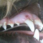 Powikłane złamanie kła z przetoką ropną – przypadek kliniczny
