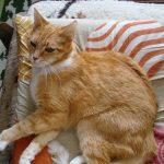 Nadczynność tarczycy u kotów