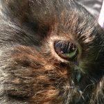 Zapalenie woreczka łzowego u królików