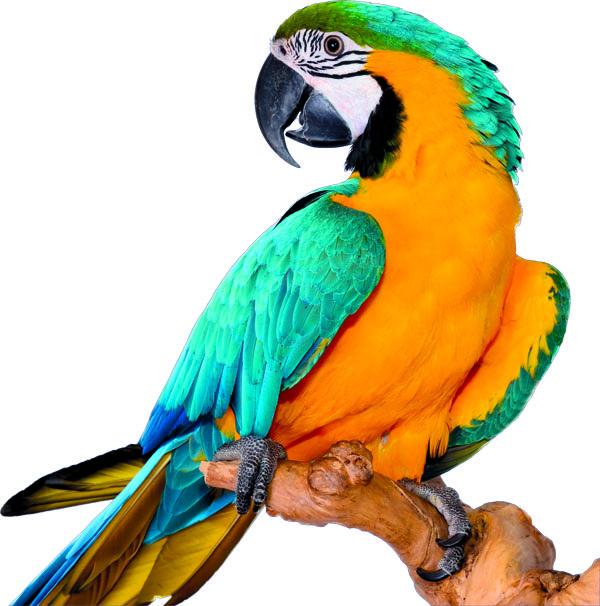 papuga2