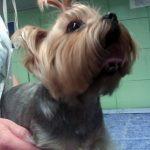 Wieloletni przetrwały przewód tętniczy Botalla u psa rasy York – przypadek kliniczny