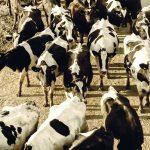 Psychologia zwierząt – cz. VI. Krowa – wielkie ciało i wielki rozum