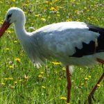 Polskie badania: ptaki kolonizujące miasta pochodzą z terenów wokół nich