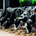 #Zapytajnaukowca: czy krowa może zjeść schabowego?
