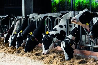 cows in a farm. Dairy cows in a farm.