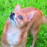 Cukrzyca u psa z nadczynnością nadnerczy i niedoczynnością tarczycy