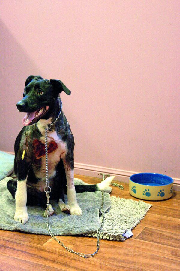 Bessy. Sprzeczka z pięcioma psami myśliwskimi podczas niedzielnego spaceru zakończyła się 6-godzinną operacją, kilkoma dniami hospitalizacji oraz sławą w lokalnej prasie i telewizji.
