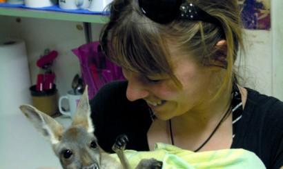 Osierocony kangur rudy, którego mama, jak wielu innych wychowanków KRC, zginęła w wypadku samochodowym.