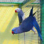 Inwazja papug w Polsce jest tylko kwestią czasu