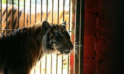 Z perspektywy chorej tygrysicy wybieg to wolność. Bella i pilnujący jej zza krat Sugang.
