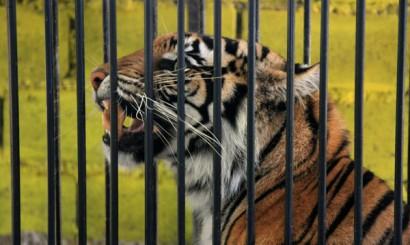 Badanie tygrysa w klatce ściskowej.