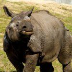 Wrocławskie zoo z ratunkiem dla nosorożców