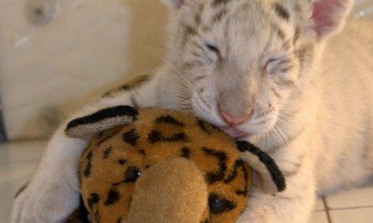Leon i jego pluszowy brat jaguar.