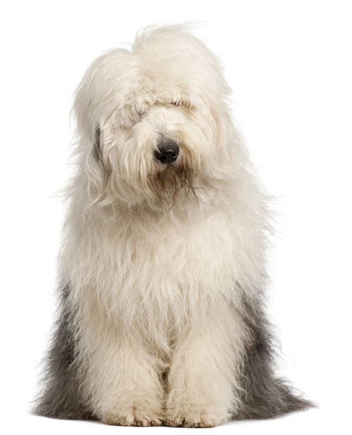 Old English Sheepdog, 2 and a half years old, sitting in front o