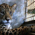 Jaguar bez zęba na przedzie