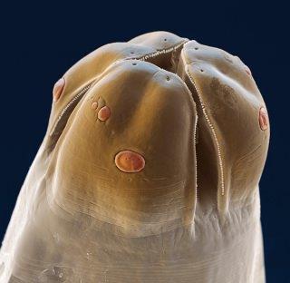 Fot. 1. Toxocara canis (zdjęcie dzięki uprzejmości Bayer Polska).