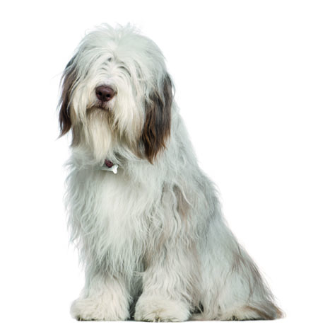 Bearded Collie, 1 year old, sitting in front of white background