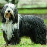 Bearded Collie – doskonały opiekun i przewodnik stad