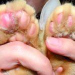 Plazmocytarne zapalenie opuszek kończyn u kotów
