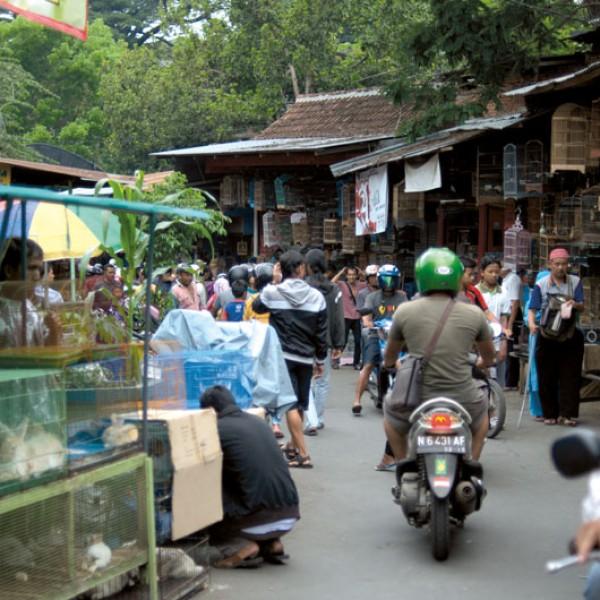 Pasar Burung Splendid Market, największy i najsłynniejszy targ zwierząt w Malang. Choć indonezyjska nazwa odnosi się do handlu ptakami, można tu kupić wszystko – od gupików, przez pytony, sójki, drozdy i papugi, po cywety, koty, jeże, króliki, małpy i nietoperze.